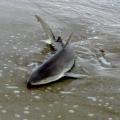 blacknose-shark