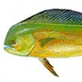 dolphin-fish