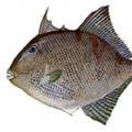 gray-triggerfish