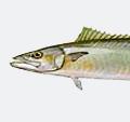 king-mackerel