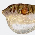 northern-puffer