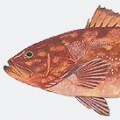 red-grouper