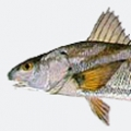 sea-mullet-kingfish