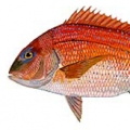 silver snapper (red-porgy)