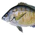 spottail-pinfish