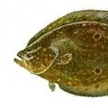 summer-flounder