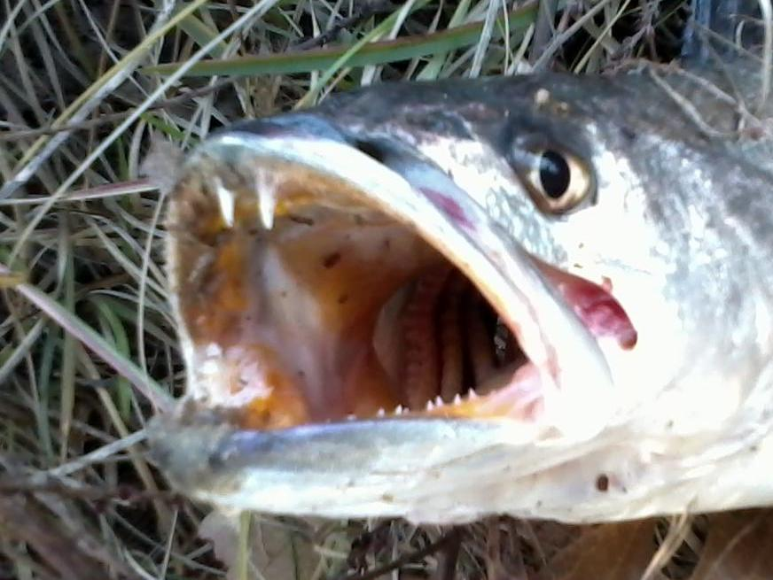 Fishy teeth up close and personal | NC Onshore and Inshore ...