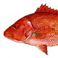 American-red-snapper