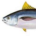 bigeye-tuna