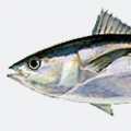 blackfin-tuna