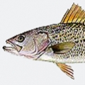 gray-trout-weakfish