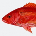 vermillion-snapper-beeliner