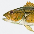 yellow-sea-bass (calico)